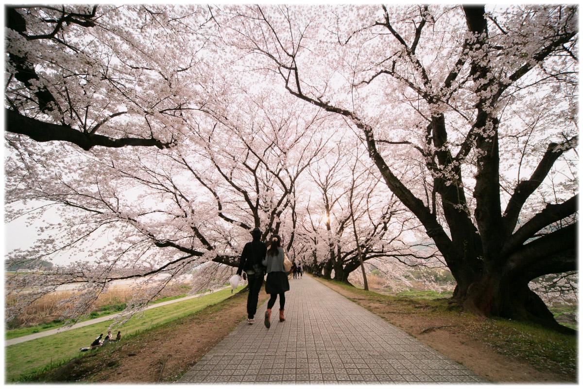 桜 2011 京都 <背割堤>_f0021869_4471778.jpg