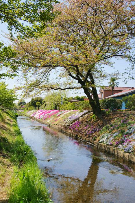 渋田川 芝桜_e0077521_21313135.jpg