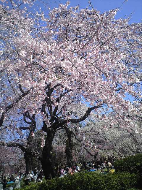 桜便り_b0206845_1214895.jpg