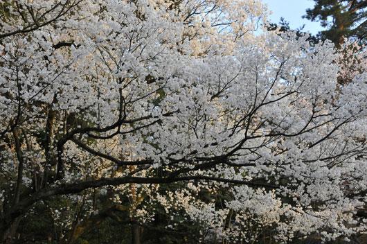 兼六園の桜(3)_c0093046_1962566.jpg