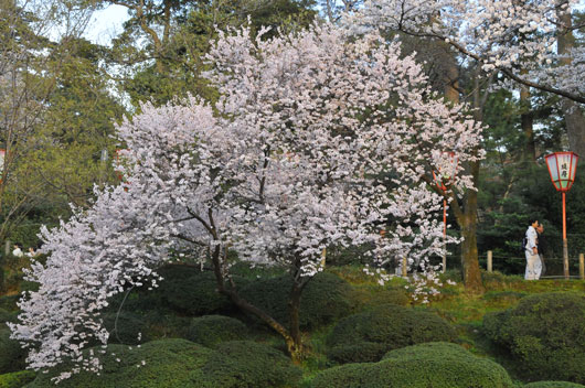 兼六園の桜(3)_c0093046_1964665.jpg