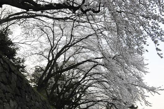 兼六園の桜(3)_c0093046_1971874.jpg