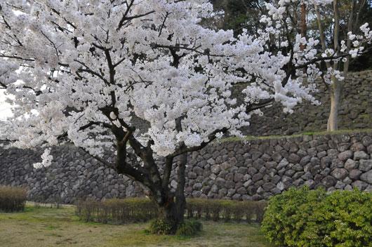 兼六園の桜(3)_c0093046_1973757.jpg