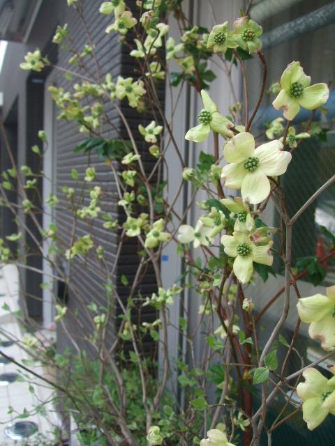 オークリーフ(入口には花水木を・・)_f0049672_15114059.jpg