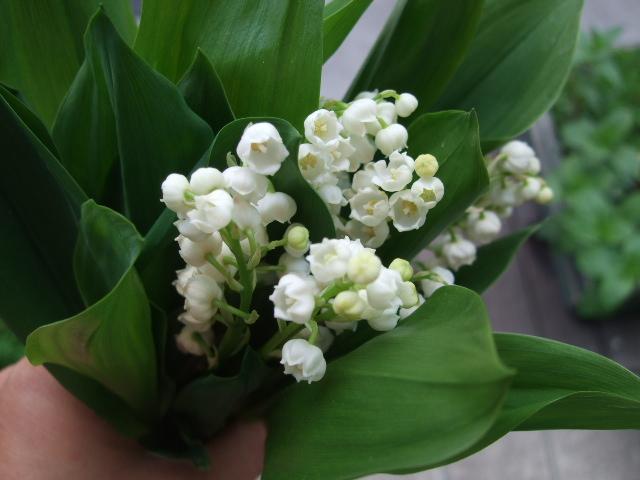 オークリーフ(入口には花水木を・・)_f0049672_15185447.jpg