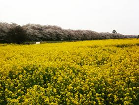 今年もさくらが咲きました_b0120877_1675539.jpg