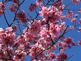 今年もさくらが咲きました_b0120877_168118.jpg