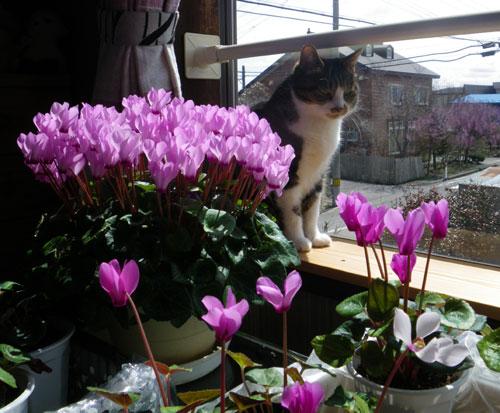 ビフレナリア・ハリソニエと猫部屋の住人など (追記あり)_a0136293_17131128.jpg