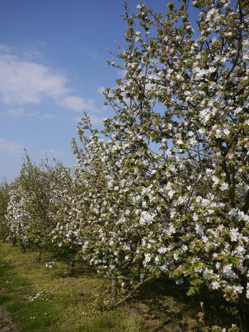 シャンブランと春の花たち_c0090198_2421289.jpg