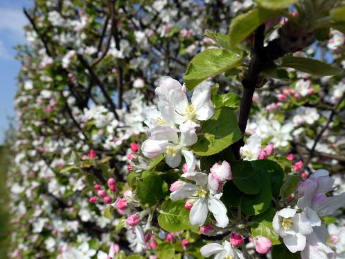 シャンブランと春の花たち_c0090198_2423459.jpg