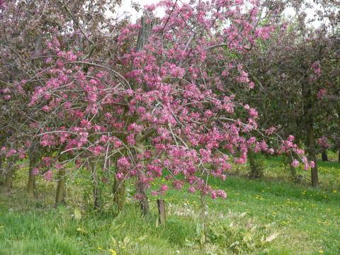 シャンブランと春の花たち_c0090198_2432991.jpg