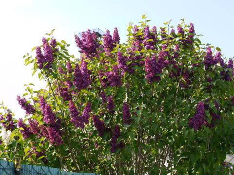 シャンブランと春の花たち_c0090198_249467.jpg