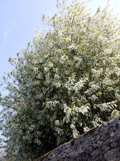 シャンブランと春の花たち_c0090198_315962.jpg
