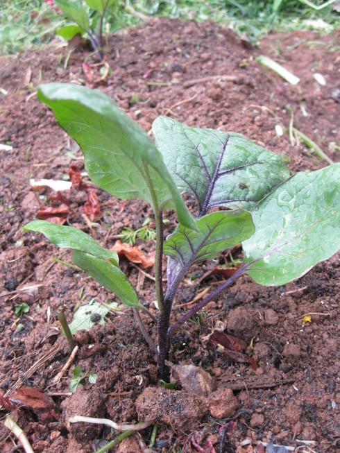 「夏野菜の植え込み」~~_a0125419_16445550.jpg