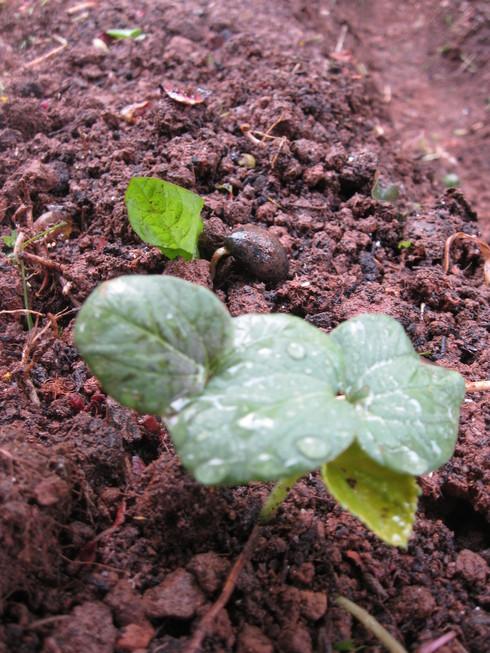 「夏野菜の植え込み」~~_a0125419_16455689.jpg