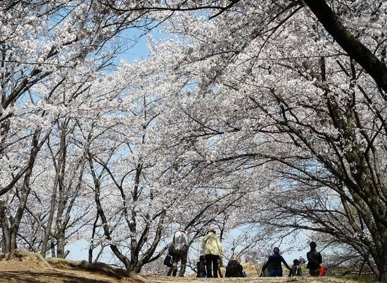 弘法山古墳の桜(松本市)_d0066822_15474320.jpg