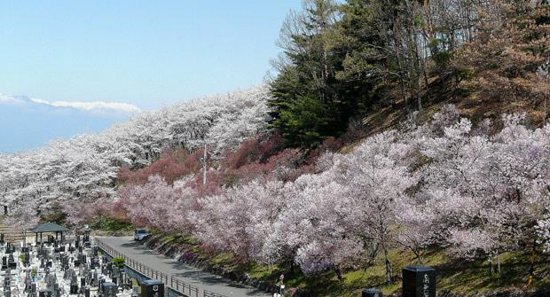 弘法山古墳の桜(松本市)_d0066822_16354189.jpg