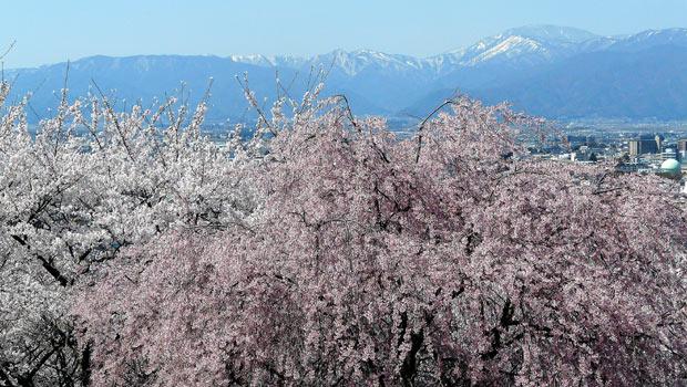 弘法山古墳の桜(松本市)_d0066822_169734.jpg