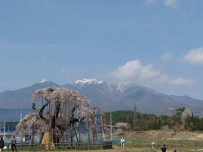 神田の大糸桜、満開♪_f0019247_2246139.jpg