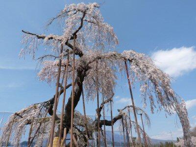 神田の大糸桜、満開♪_f0019247_22463031.jpg