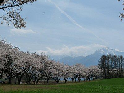 神田の大糸桜、満開♪_f0019247_22554564.jpg