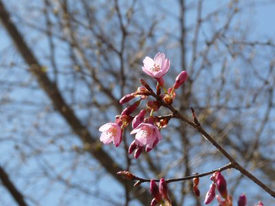 神田の大糸桜、満開♪_f0019247_2304794.jpg