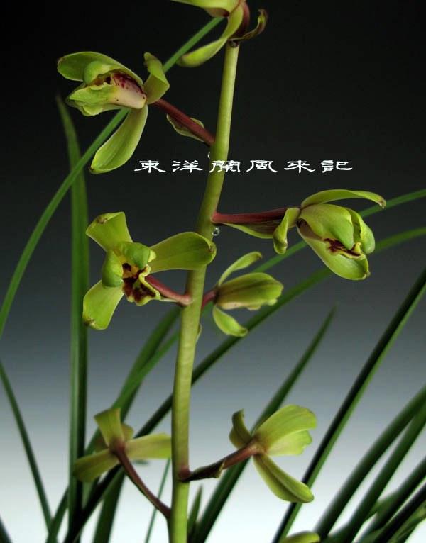 中国蘭一茎九華赤茎「老染字」             No.397_b0034163_2336887.jpg
