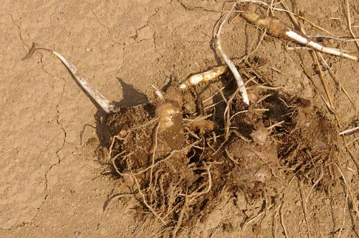 実家からサトイモの種芋持ち帰り野口農園に植え付け_c0014967_1035053.jpg