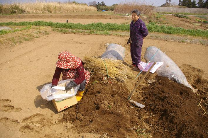 実家からサトイモの種芋持ち帰り野口農園に植え付け_c0014967_1042481.jpg