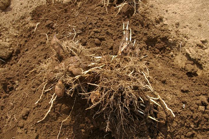 実家からサトイモの種芋持ち帰り野口農園に植え付け_c0014967_104837.jpg
