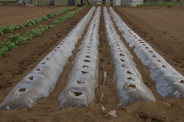 実家からサトイモの種芋持ち帰り野口農園に植え付け_c0014967_105288.jpg