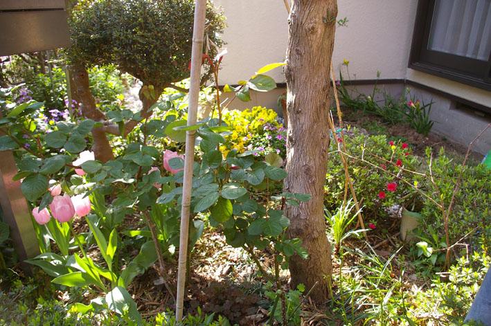 小さな庭の華やかな装い(2011年4月20日)_c0014967_1349476.jpg