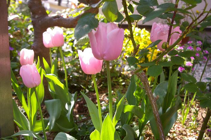 小さな庭の華やかな装い(2011年4月20日)_c0014967_13504792.jpg