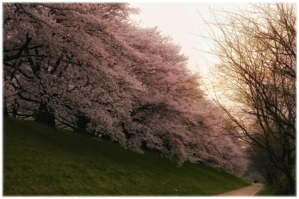 桜 2011 京都 <背割堤>_f0021869_22584777.jpg