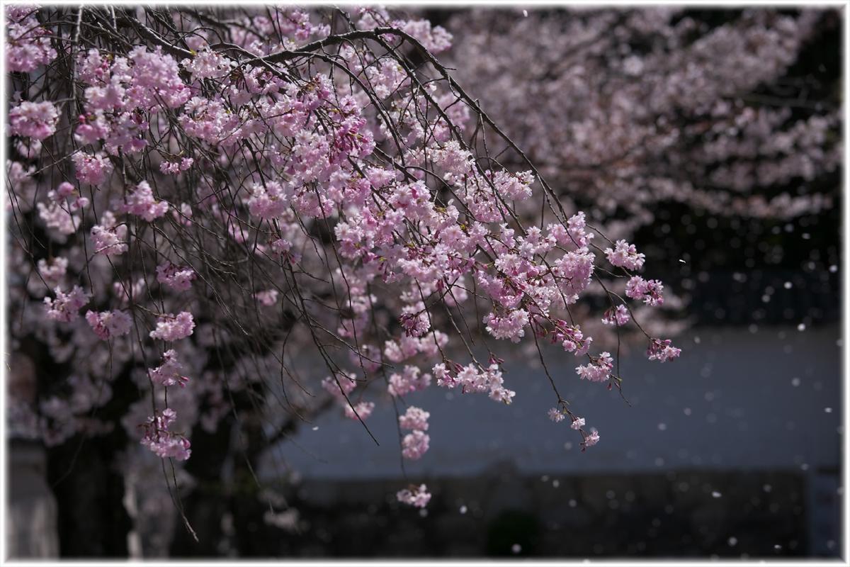 桜 2011 京都 <観修寺>_f0021869_231401.jpg