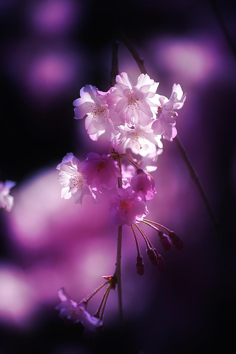桜 2011 京都 _f0021869_2345943.jpg