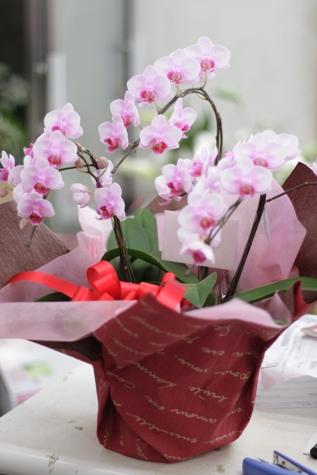 贈り物の胡蝶蘭_f0213974_824618.jpg