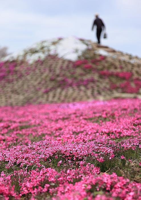 """""""春あざやか、夢の芝桜"""" NO.1_a0140608_8543342.jpg"""