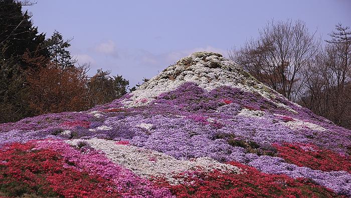 """""""春あざやか、夢の芝桜"""" NO.1_a0140608_8561270.jpg"""