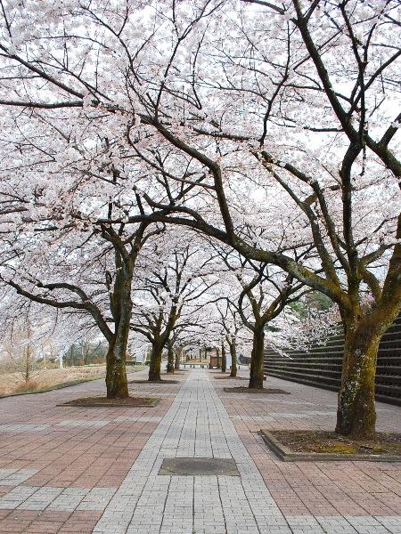 満開!北毛の桜_c0177814_14532412.jpg
