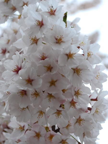 満開!北毛の桜_c0177814_14541591.jpg