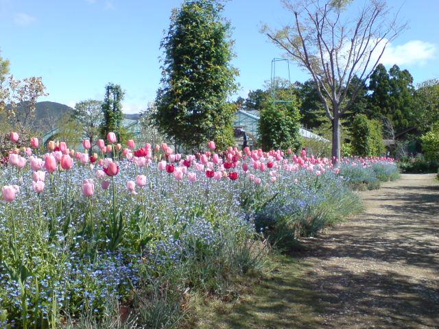 チューリップと忘れな草の花壇。_e0135518_13414364.jpg