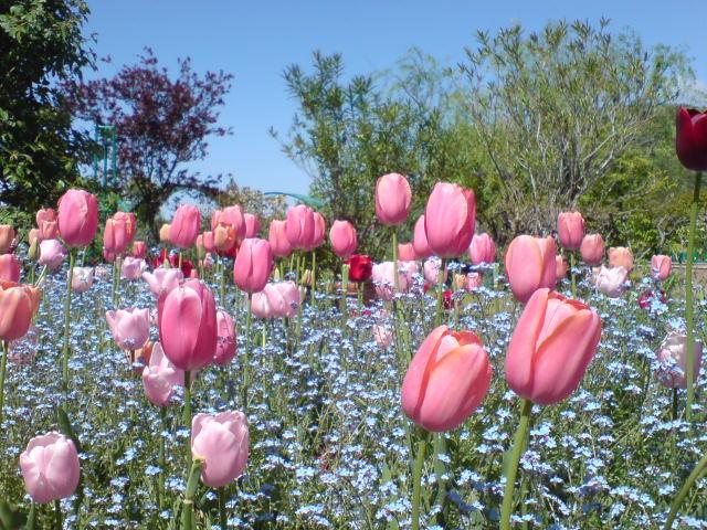 チューリップと忘れな草の花壇。_e0135518_13415218.jpg