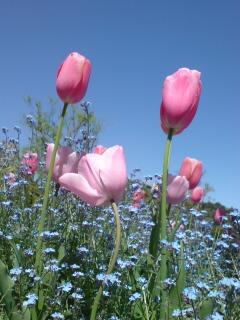 チューリップと忘れな草の花壇。_e0135518_13461761.jpg