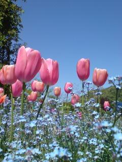 チューリップと忘れな草の花壇。_e0135518_1346302.jpg