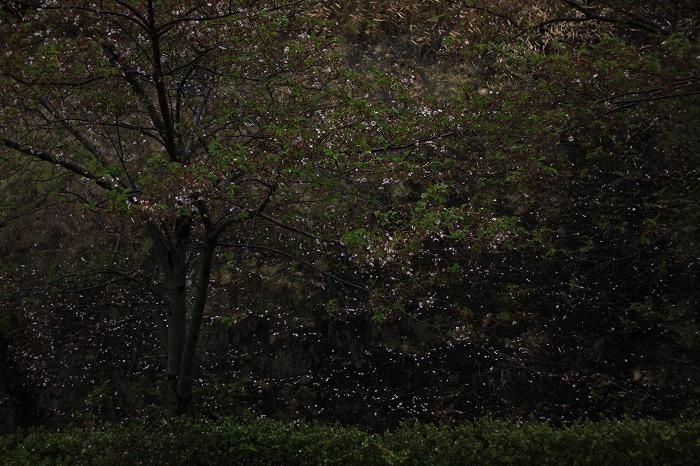 桜絵巻・・・_b0168041_17282662.jpg