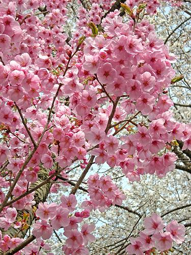 4月22日 桜 陽光_a0001354_2203557.jpg