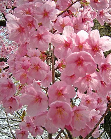 4月22日 桜 陽光_a0001354_220535.jpg