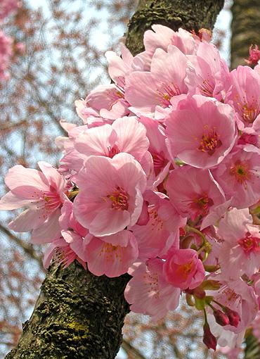 4月22日 桜 陽光_a0001354_2211417.jpg