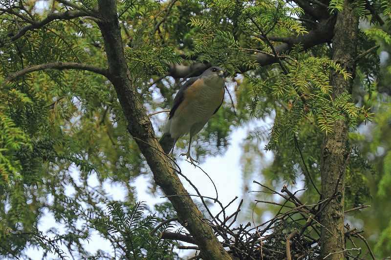 巣作りがいそがしいツミの番_f0044056_74596.jpg
